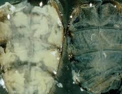vitellogenine in vetlichaampjes